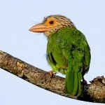 Computer-pedia: Lineated Barbet